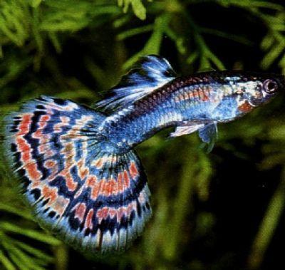 peixes ornamentais de agua doce - Pesquisa Google