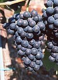 Pinot noir (Pee-know na-wahr) One of the noblest red wine grapes. Pinot noir is difficult to grow, rarely blended, with no roughness.  Food pairings: excellent with grilled salmon, chicken, lamb and Japanese dishes (notably sushi rolls).