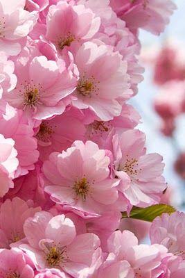 Pretty pink blossoms . . .
