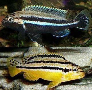 !Melanochromis Auratus Cichlids. Black - male. Yellow - female.