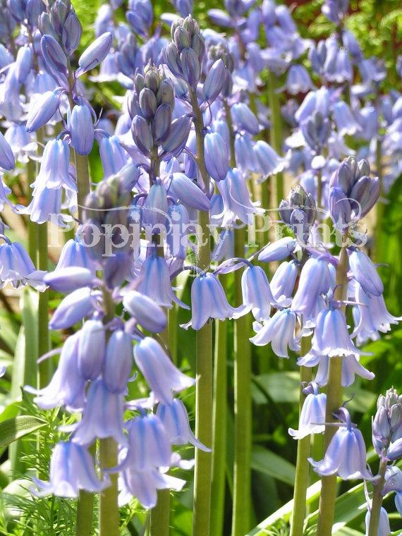 Bluebells by PopinjayPrints on Etsy, $17.00