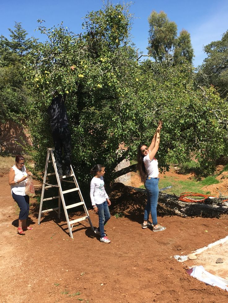 Árbol de pera, Sierra de Santa Rosa