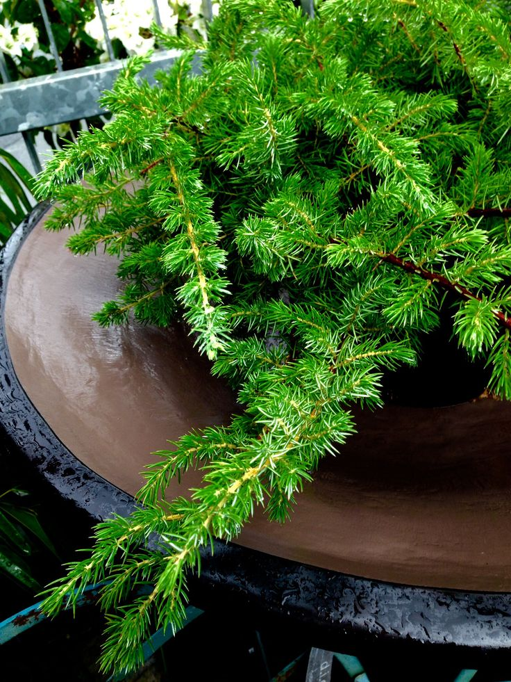 This variety of junipers are great for ground cover or as an outdoor centrepiece.