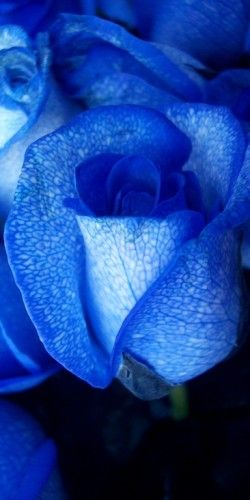 Blue roses...the most beautiful of roses!