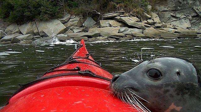 Aventure de 3 jours en kayak de mer au bout du monde , Gaspésie , Québec , Canada. Une rencontre touchante entre l'homme et le phoque. François Marotte et Dave Savard.