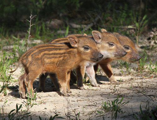 Nice Cute Baby Boars