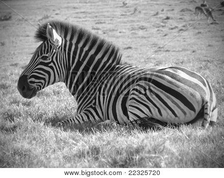 Resting Zebra in black and white