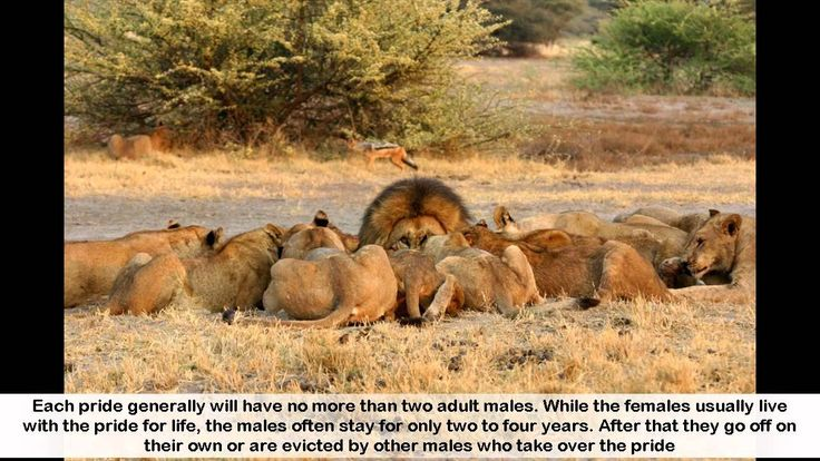 Facts about Lions - 12 interesting Facts about Lions