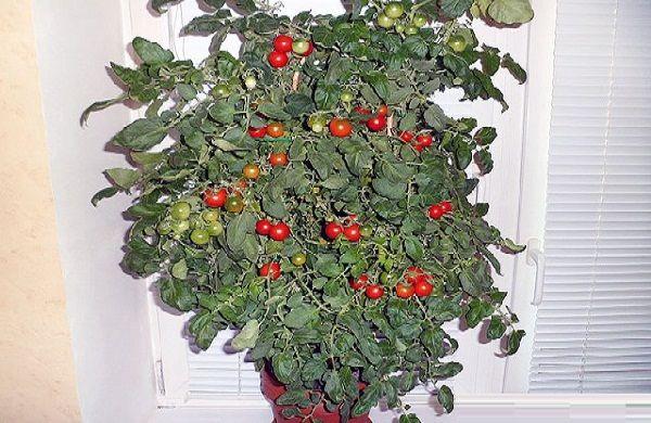 В комнатных условиях можно выращивать довольно много сортов и гибридов томатов. Но более пригодны дл...