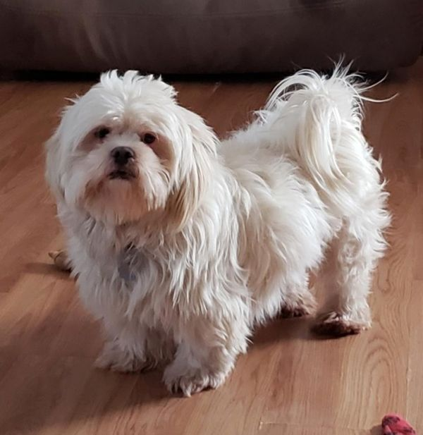 Adopt Jolie On Shih Tzu Pet Adoption Shih Tzu Dog