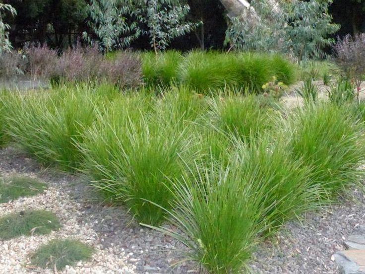 Lomandra longifolia in entrance garden approaching Maranoa Garden