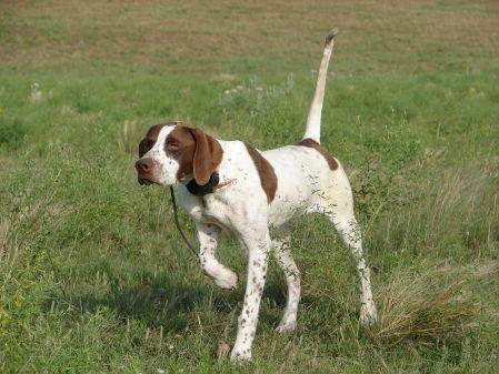 english pointer dog photo | Progundog.com