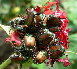 10 tips for getting rid of Japanese Beetles How to get rid of Japanese beetles naturally. Just plant some plants that repel them: catnip, rue, larkspur, cloves, garlic, tansy, and geranium.  These natural ways to rid your outdoor plants of Japanese beetles and prevent Japanese beetle damage and prevent additional damage have been used successfully for years by farmers.