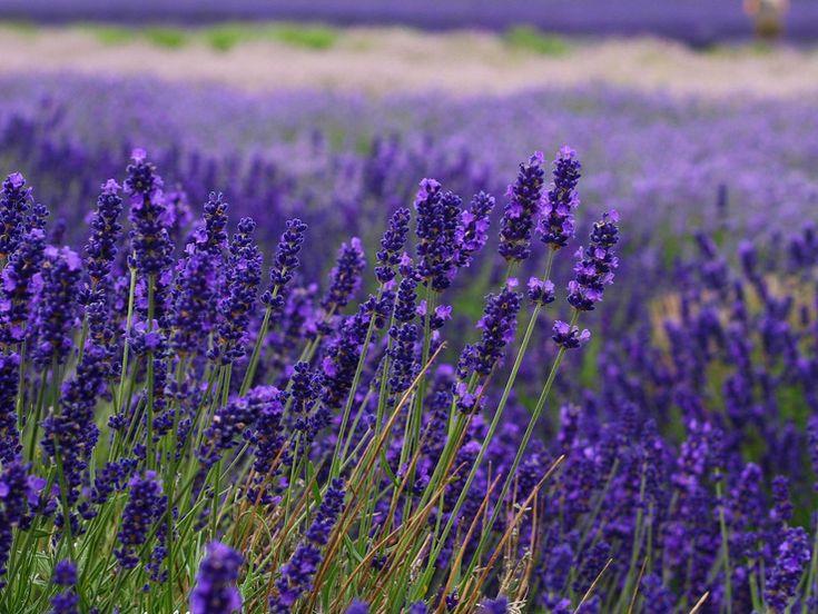 Levanduľa poskytuje každej záhrade bohaté farby a vizuálny efekt, ale okrem toho má aj mnohostranné využitie. Levanduľa poskytuje každej záhrade … Čítať ďalej