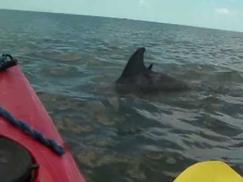 Kayaking With The Dolphins In Virginia Beach Va