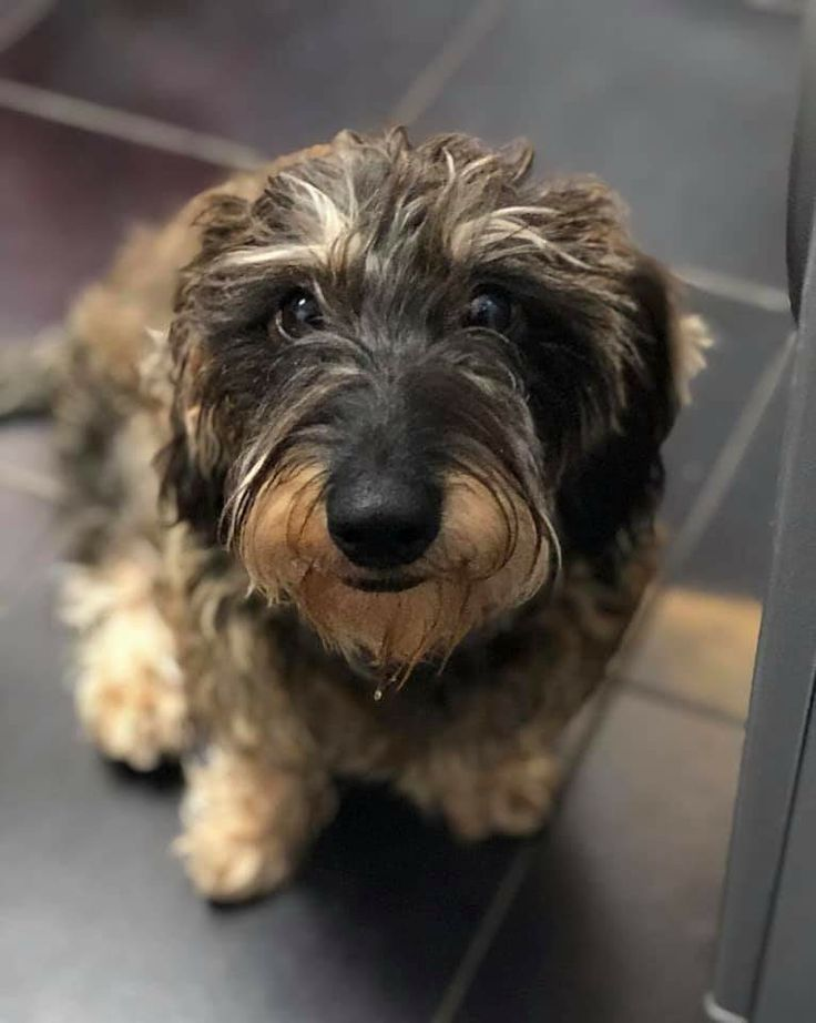 Cute Wirehaired Dachshund Wirehaired Wirehaired Dachshund Sausage