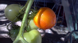 Share Our Garden!Tomatoes on the vine: Gardens Tomatoes, Garden Tomatoes, Gardens Blog