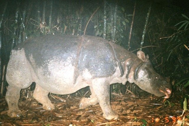 It's Official: Vietnam's Javan Rhino Is Extinct. Which Species Is Next?  Poachers and lack of territory have killed off these amazing rhinos in Vietnam. Can we save the 35 left in Indonesia?