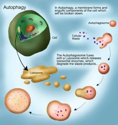 How to Renew Your Body: Fasting and Autophagy ...