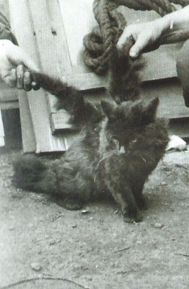 This kitten found in Manchester, England, had a broad flat tail and wings. The 11 inch 'wings' grew from the shoulder bone.