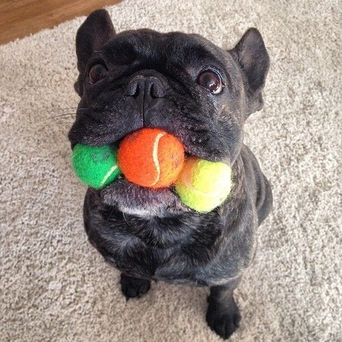 """I finally got ALL da BALLS! Funny French Bulldog ❤⚽️⚾️"