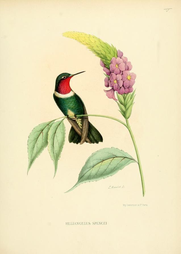 Suppl plates histoire naturelle des oiseaux mouches ou colibris constituant la famille des - Oiseau mouche dessin ...