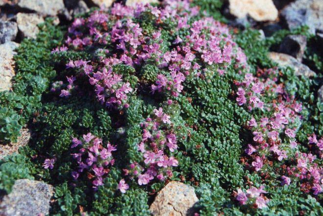 Gråtimjan - Thymus pseudolanuginosus