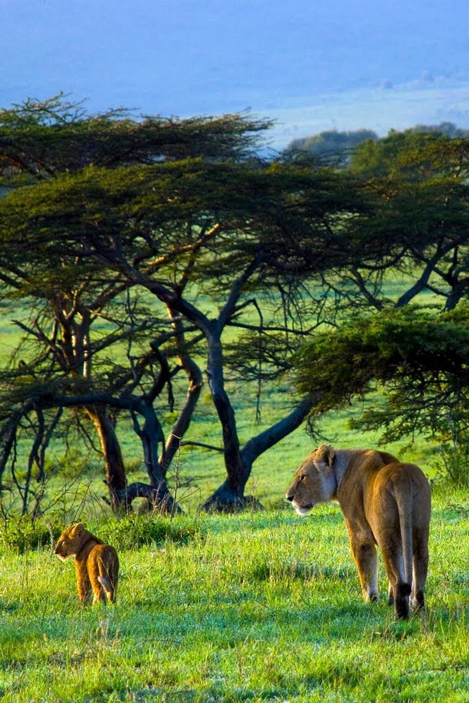 baby lion and its mom in Serengeti morning light