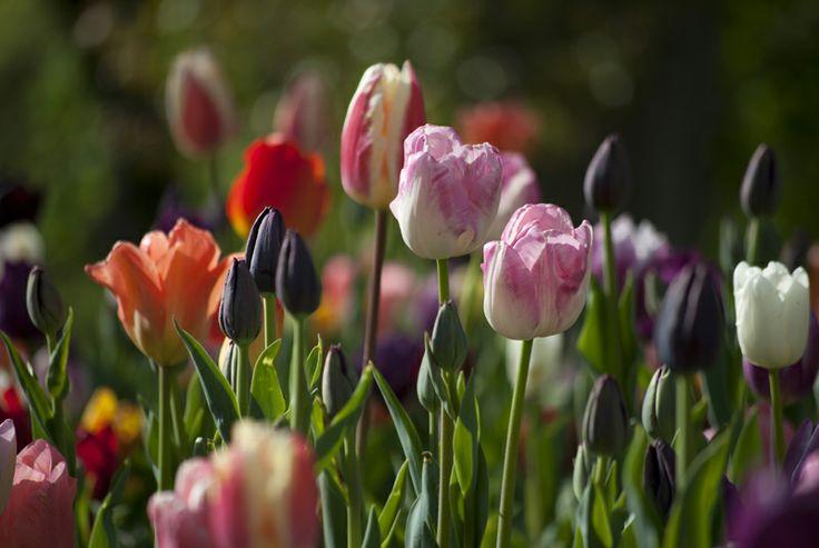 Tulips by Kannika Holzhaus
