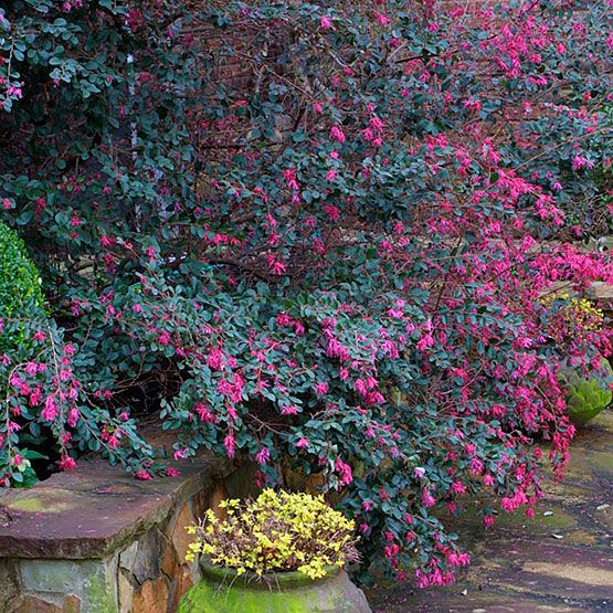 Loropetalum chinense zones 7 9 full sun to partial shade for Shade garden design zone 9