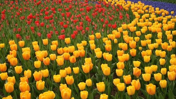 Kings Day April 27th.  & Tulips!