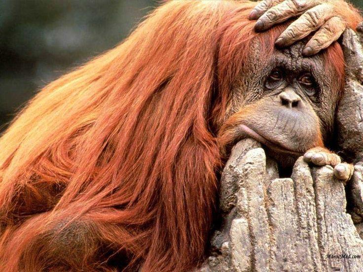 faune tropicale | Photo 20 : ourang outan : son avenir est aussi entre nos mains : fini ...