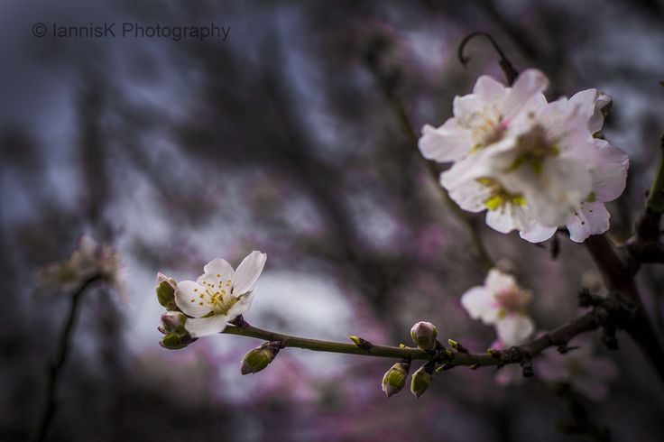 almond tree /αμυγδαλιά by Iannis Koukoras on 500px