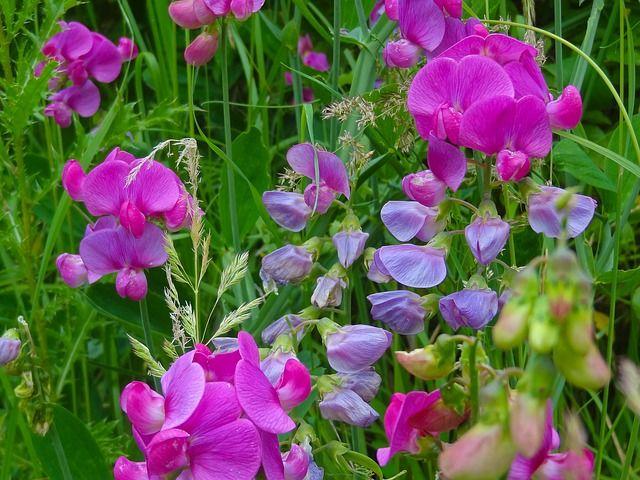 how to grow sweet peas floret