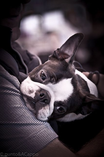 love by lupamajor, via Flickr: Boston Terriers Love, Boston Baby, French Bulldogs, Sweet Faces, Sweet Baby, Boston Terrior Puppies, Boston Terriers Cute, Flickr Boston Terriers, Cute Dogs