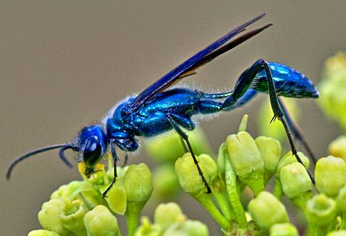 Another metallic blue wasp by jim_mcculloch, via Flickr
