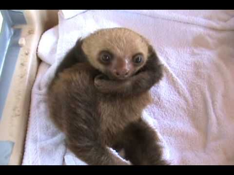 Cutest baby sloth video EVER.  He skritches himself, they attempt daring escapes, and they sit there and look adorable.  I smiled the whole way through.