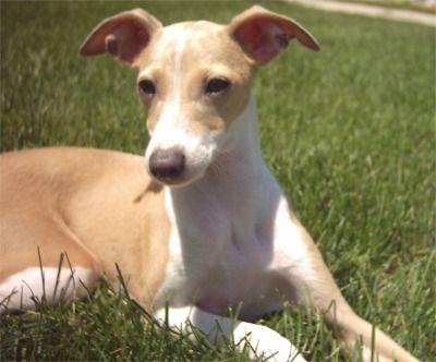 Greyhound Photo Gallery | Italian Greyhound Puppies Breeders Greyhounds