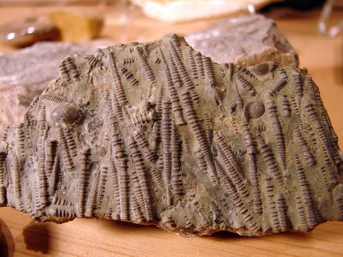 Crinoid Columns. Jurassic Period. Liaoning Provence, China