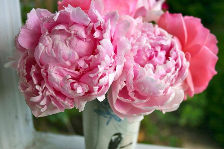 images of peonies | search terms peony peony flower pianese flower pink peony pink peony ...