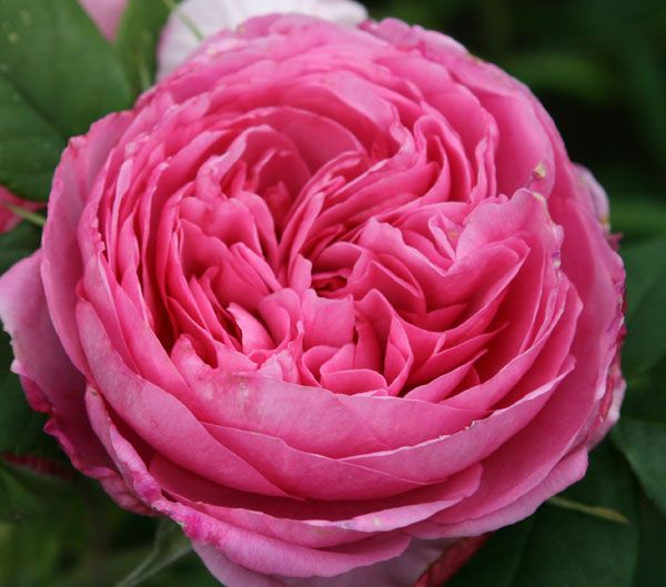 rosa gertrude jeckyll - the best rose ever!  soooo fragrant.