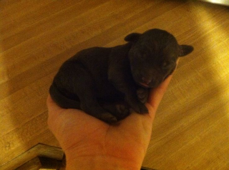 Newborn chocolate Labrador puppy | Dogs on my wishlist ...