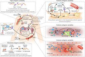 Ciclo de vida de Plasmodium spp.