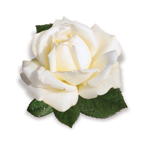 Róża Pnaca biała - Rosa 'Ilse Krohn Superior ®'