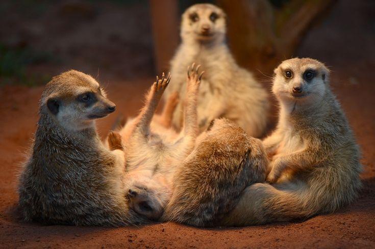 SuricatiCreatures Grandi, Gossip Gathering, Germania Candies, Wonder, Candies Welz Dapd, Nello, Furries Friends, Suricati, Animal