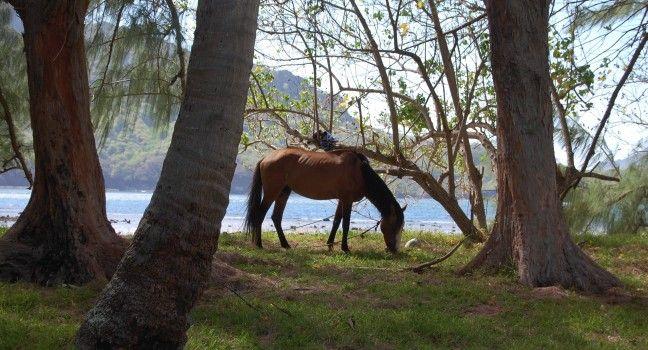 Marquesas Island Horse. Nuku Hiva