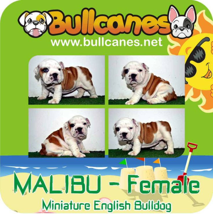 MALIBU MINIATURE ENGLISH BULLDOG PUPPIES http://www.bullcanes.net / ceo@bullcanes.net / Facebook: bullcanes1@hotmail.com / instagram: @BULLCANES Bulldog puppies for Sale / Twiter: bullcanes1 / YouTube: Bullcanes Bulldog Kennel