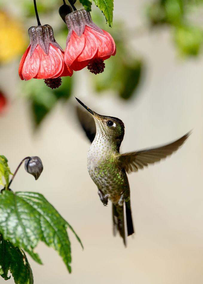 Hummingbird Chico