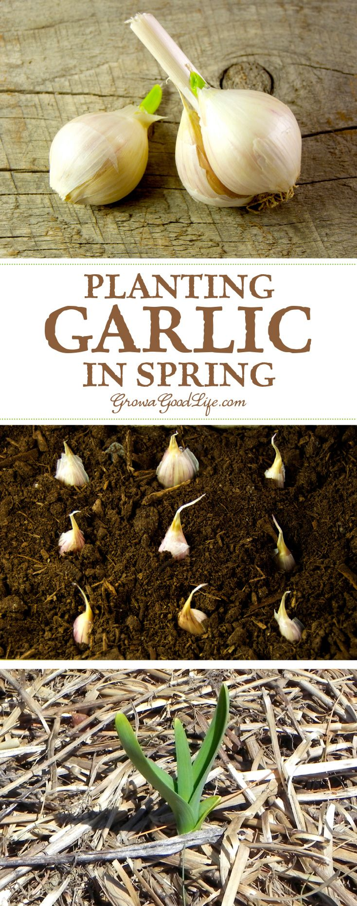 Missed your chance to plant garlic last fall? Has your winter storage garlic sprouted? Try planting spring garlic. You may not get large cloves, but you can still enjoy the mild flavor of green garlic.