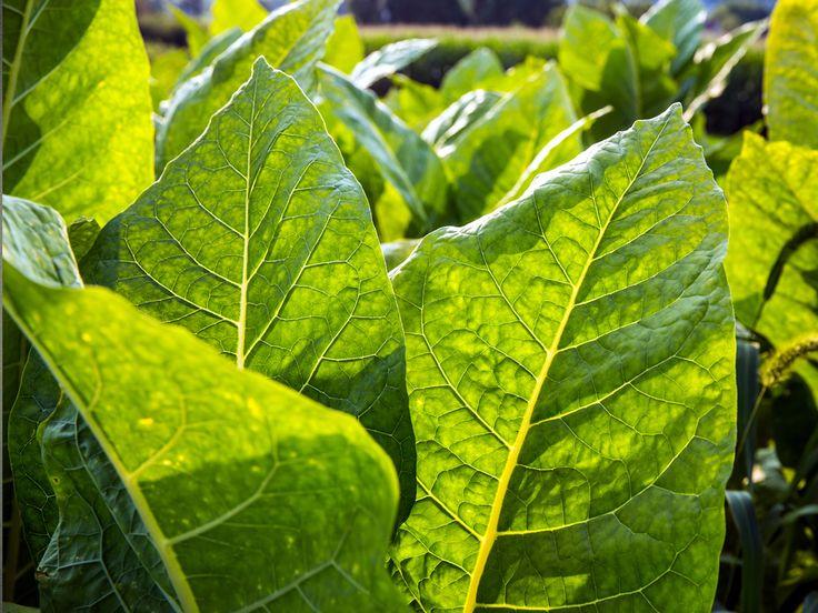 Tabacco: una pianta medicinale divenuta serial killer | NatureLab